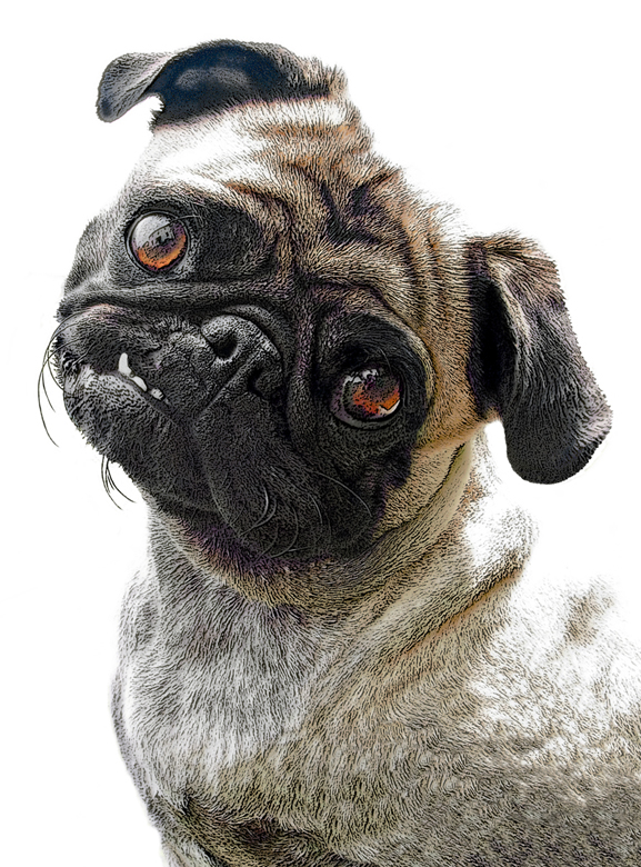 the gorgeous face of a Pug dog pleading with the photographer